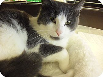 Domestic Shorthair Cat for adoption in Fairborn, Ohio - Nathan