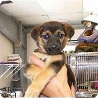 Adopt A Pet :: Pebbles - Alexandria, VA