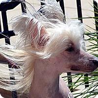 Adopt A Pet :: Stewy-Adoption pending - Bridgeton, MO