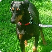Adopt A Pet :: Abby - Arlington, VA