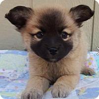 Adopt A Pet :: Encore - Manhattan, NY