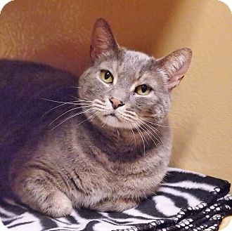 Domestic Shorthair Cat for adoption in Ocean View, New Jersey - Elmo