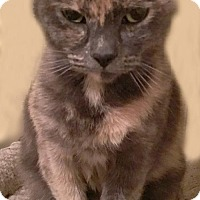 Adopt A Pet :: Dakota: Affectionate, Sweet, Gorgeou Dilute Calico - Brooklyn, NY