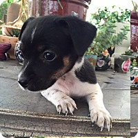 Adopt A Pet :: ANAKIN - Rancho Cucamonga, CA