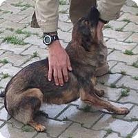Adopt A Pet :: Dingo - Kosovo Dog - Encino, CA