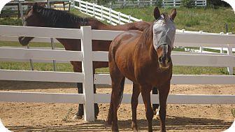 Quarterhorse/Morgan Mix for adoption in Simi Valley, California - Misty