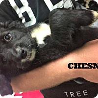 Adopt A Pet :: Chesney - Kimberton, PA