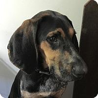 Adopt A Pet :: Oreo - New York, NY