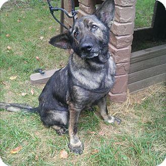 German Shepherd Dog Mix Dog for adoption in Louisville, Kentucky - Abraham