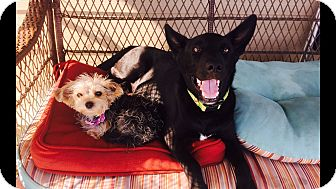 Labrador Retriever Mix Puppy for adoption in Brattleboro, Vermont - Frederick