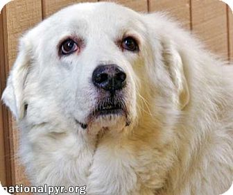 Great Pyrenees Dog for adoption in Beacon, New York - Mandie in NJ
