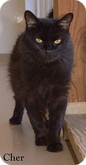 Domestic Longhair Cat for adoption in Fryeburg, Maine - Cher