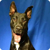 German Shepherd Dog Mix Dog for adoption in Ocala, Florida - *ROCKSTAR