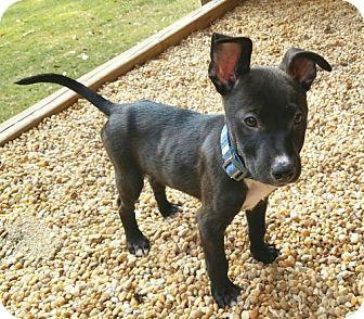 Pit Bull Terrier Mix Puppy for adoption in Alpharetta, Georgia - RyanCat