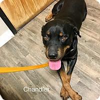 Rottweiler Dog for adoption in Gilbert, Arizona - Chandler