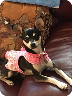 Chihuahua Mix Dog for adoption in San Diego, California - Whitney