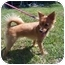 Photo 1 - Pomeranian Mix Dog for adoption in Chesapeake, Virginia - Ellie