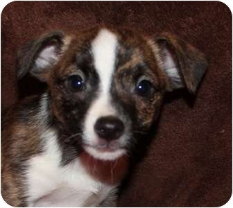 Bunny | Adopted Puppy | Portland, ME | Rat Terrier ...
