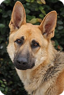 German Shepherd Dog Dog for adoption in Los Angeles, California - Rommel von Ritz