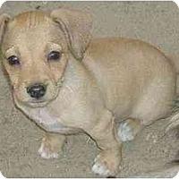 Adopt A Pet :: Cookie - Fowler, CA