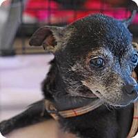 Adopt A Pet :: PRECIOUS (LM) - Tampa, FL