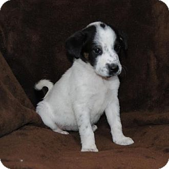 rat terrier australian cattle dog mix parsons ks rat terrier australian cattle dog mix meet 3096