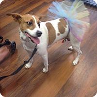 Adopt A Pet :: Basha - Pompton Lakes, NJ