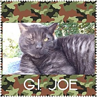 Adopt A Pet :: GI Joe - Walnut Creek, CA