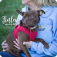 Chihuahua Mix Dog for adoption in Newport, Kentucky - Finley