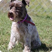 Standard Schnauzer Dog for adoption in Spring, Texas - April