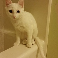 Adopt A Pet :: Snow White - Greensboro, NC