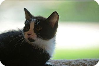 Domestic Shorthair Kitten for adoption in Houston, Texas - Tiny Tim
