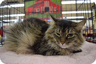 Domestic Longhair Cat for adoption in Washington, Pennsylvania - Kitty