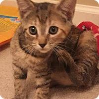 Adopt A Pet :: Amber - Garner, NC