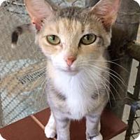 Adopt A Pet :: Abella - Greenwood, SC