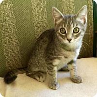 Domestic Shorthair Cat for adoption in Burlington, North Carolina - APOLLO