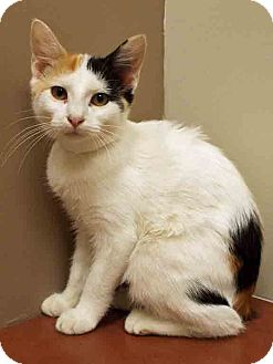 Calico Kitten for adoption in Plainfield, Illinois - ADOPTED!!!   Daisy
