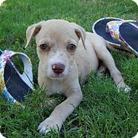 Adopt A Pet :: Isabella (bella) - Glastonbury, CT