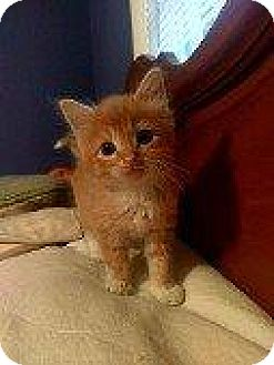 Domestic Longhair Kitten for adoption in Hampton, Virginia - BUTTER FINGER