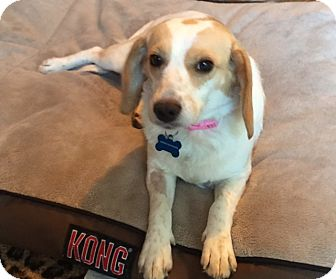 Beagle Dog for adoption in Williamsburg, Virginia - Maggie