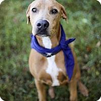 Doberman Pinscher Mix Dog for adoption in Lakeland, Florida - Pistol