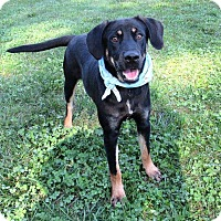 Adopt A Pet :: COREY - Lexington, NC
