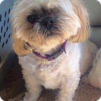 Shih Tzu Mix Dog for adoption in Summerville, South Carolina - Charlie
