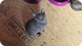 Russian Blue Kitten for adoption in Aurora, Colorado - Smoky