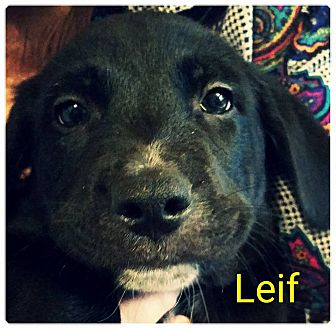 Border Collie Mix Puppy for adoption in Allen, Texas - Lief
