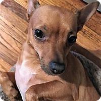 Adopt A Pet :: PRINCESS!! I NEED A  FOSTER!! - Mastic Beach, NY
