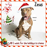 American Pit Bull Terrier/Pit Bull Terrier Mix Dog for adoption in San Bernardino, California - URGENT IN MORENO VALLEY - ZEUS