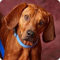 Adopt A Pet :: Ridge - Harrisonburg, VA