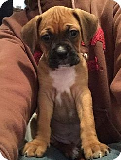 Boxer/Redbone Coonhound Mix Puppy for adoption in Newtown, Connecticut - Boxer pups
