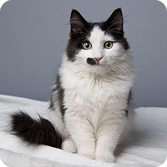 Domestic Mediumhair Kitten for adoption in Wilmington, Delaware - Leonardo DiCatPrio